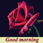 38+ Good Morning HD Flower images for free photo download for Whatsapp pics